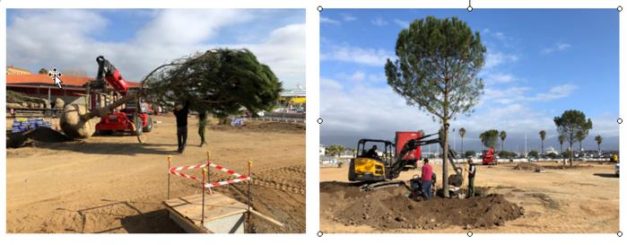 Les premiers arbres de la place Campinchi
