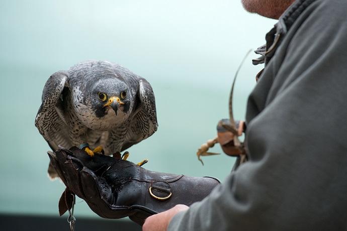 Le fauconnier est de retour à Ajaccio