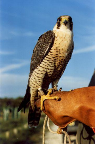 Le faucon revient effaroucher les étourneaux