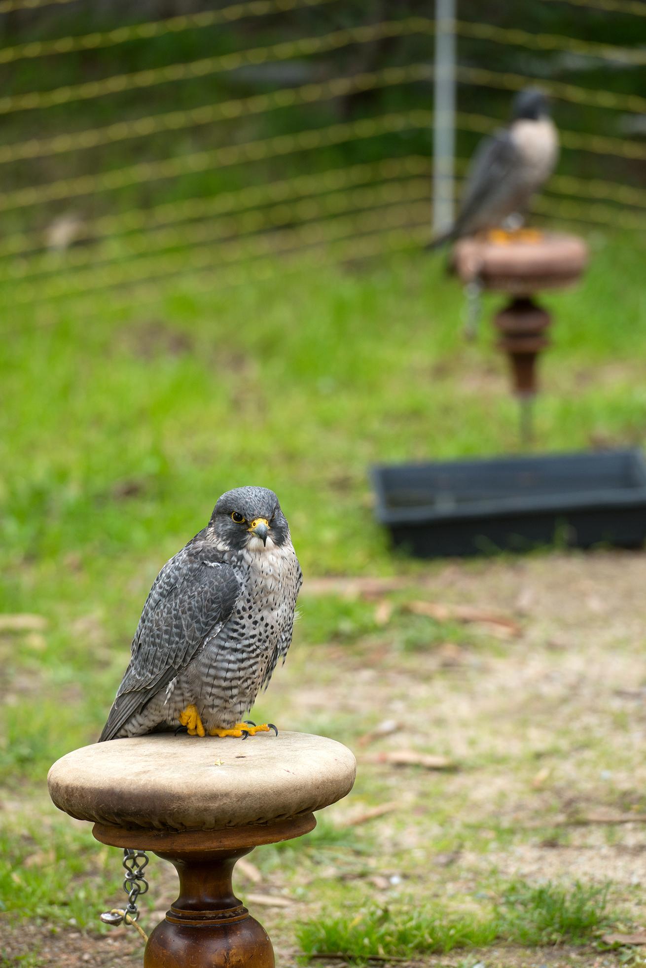 Repousser les étourneaux, l'art du fauconnier