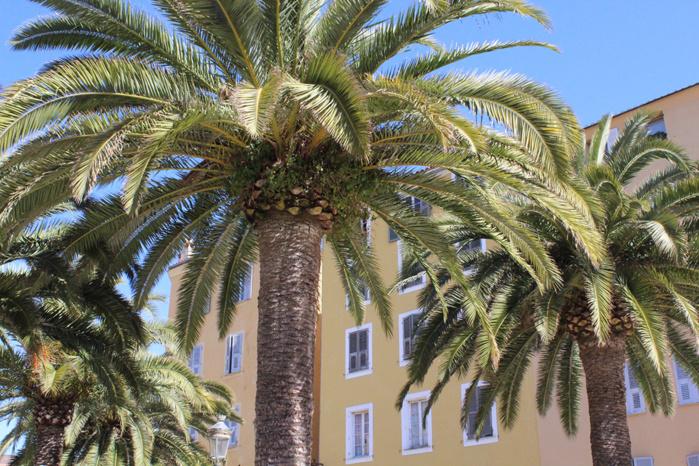 Il faut sauver les palmiers d'Ajaccio