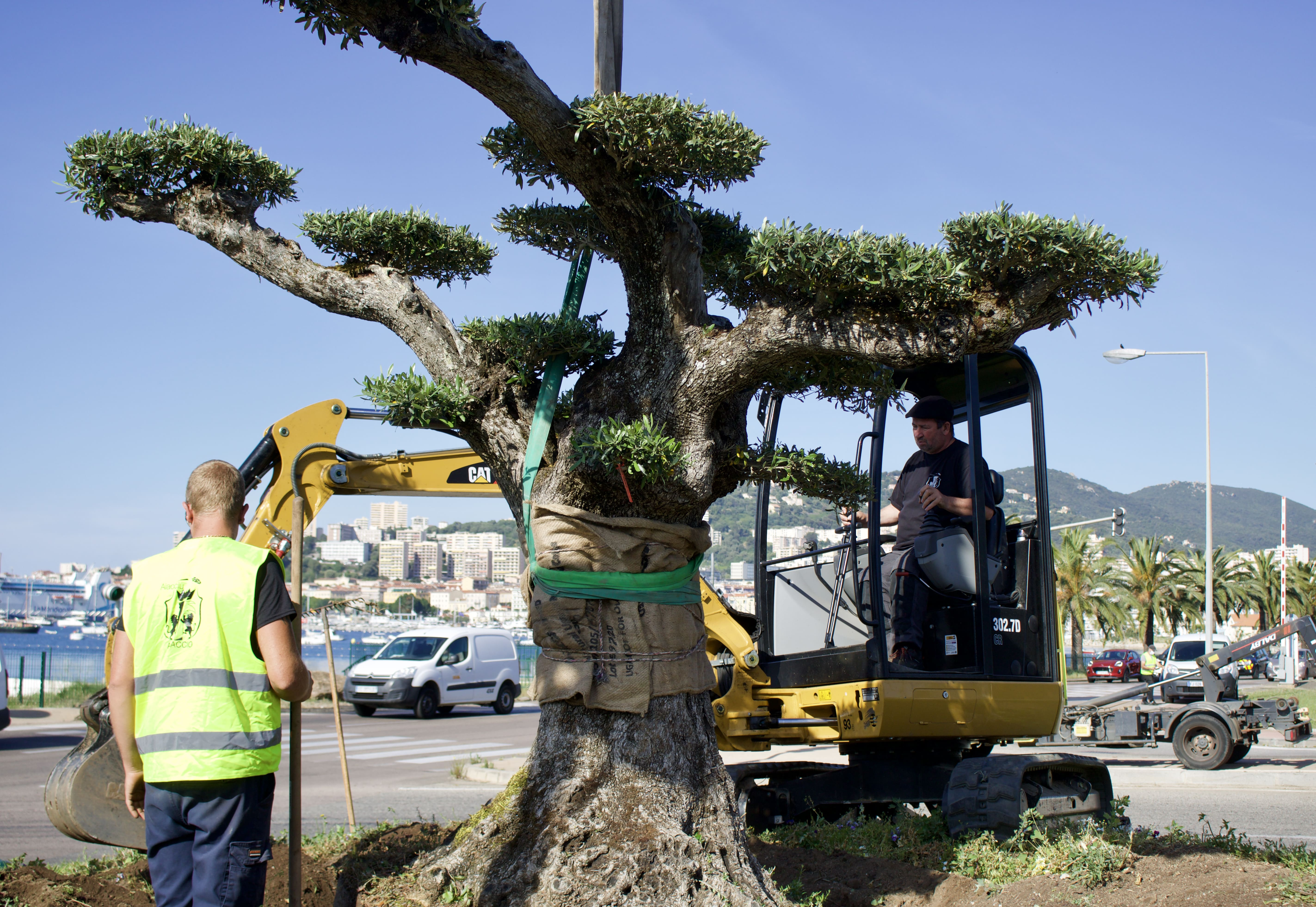 Plantation d'un olivier de 150 ans