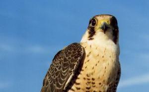 Le fauconnier revient effaroucher les étourneaux
